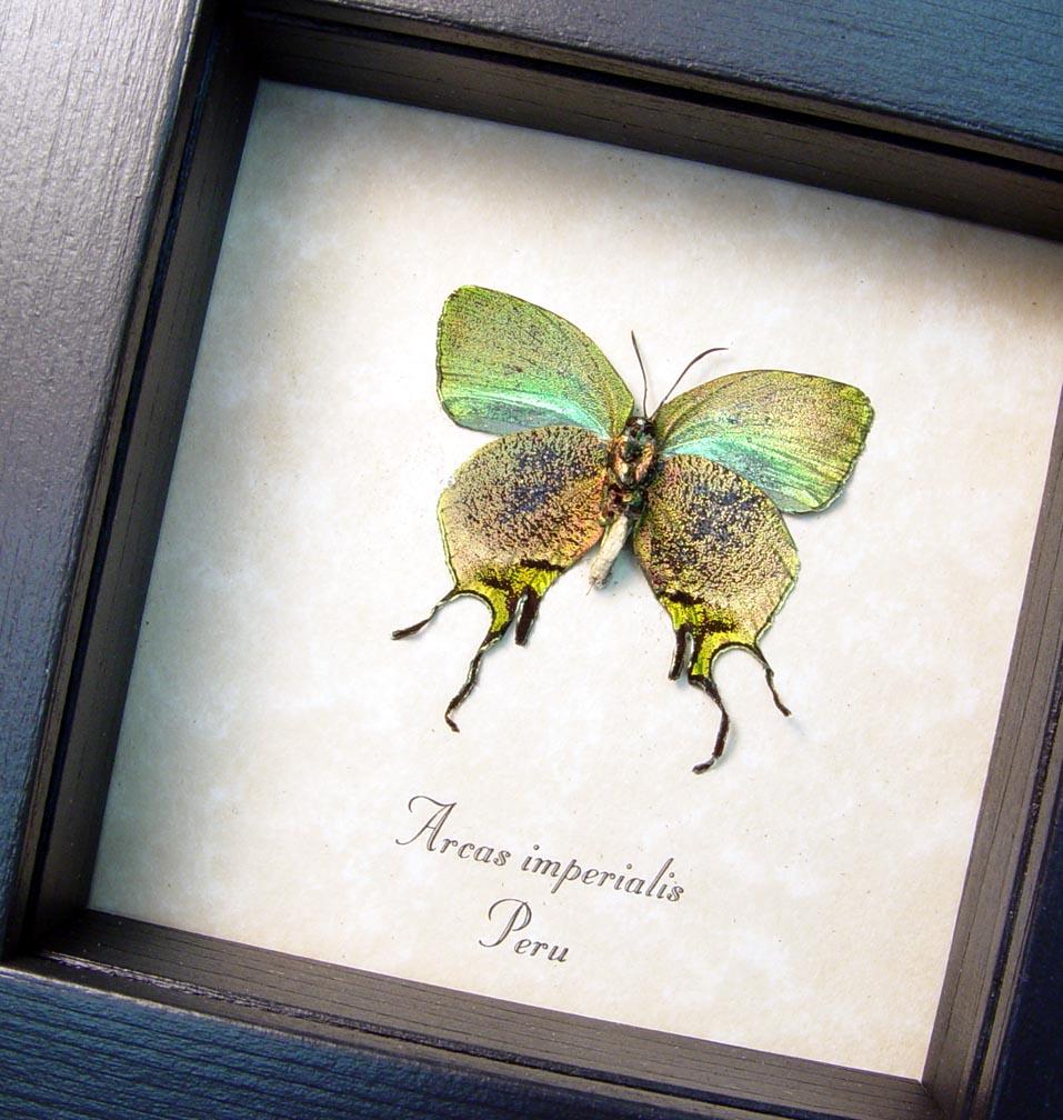 Framed Butterfly Copper Swallowtail Arcas imperialis ooak