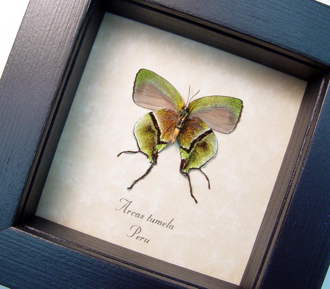 Arcas Tumela verso Gold Swallowtail Butterfly ooak