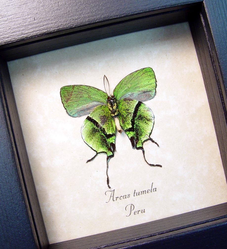 Arcas Tumela verso Green Swallowtail Butterfly ooak