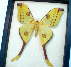 Argema mittrei Female large Comet Moon Moth OOAK