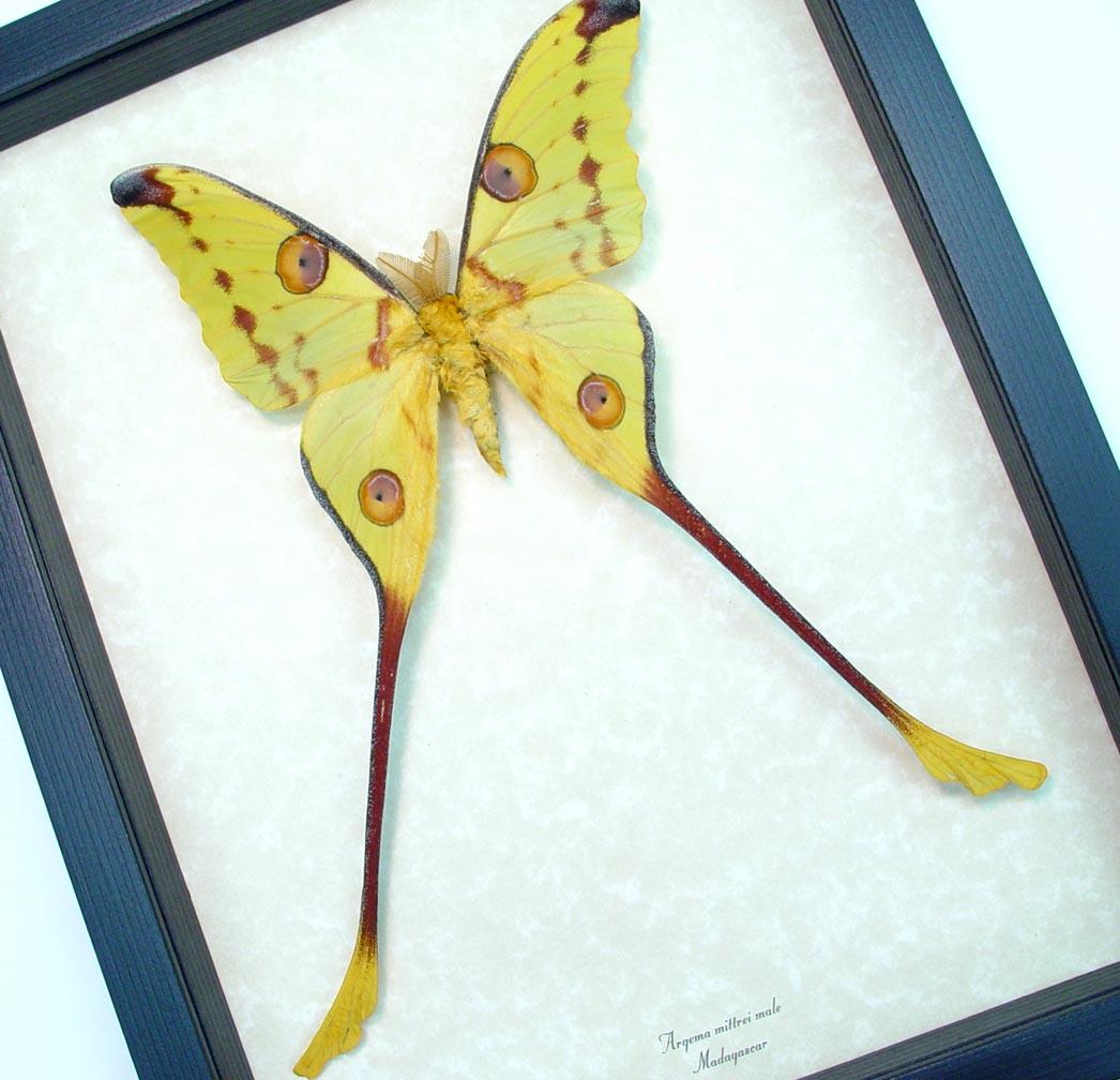Framed Comet Moth Argema Mittrei Male ooak