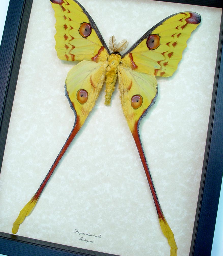 Framed Comet Moth Argema Mittrei Large Male ooak