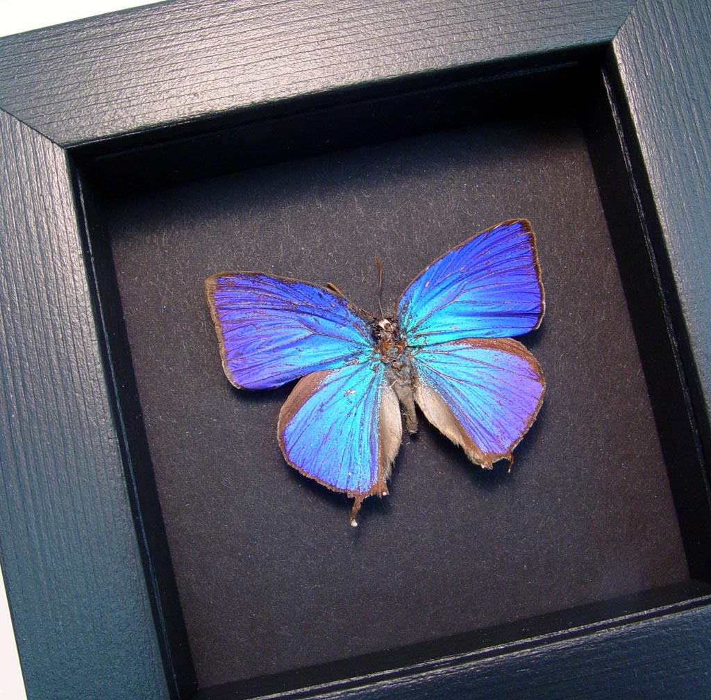 Arhopala hercules Oakblue Butterfly Moonlight Display ooak