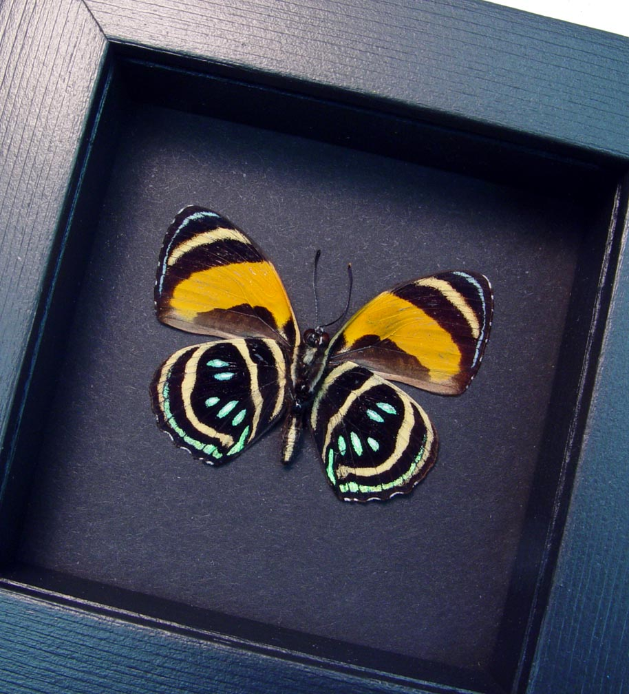 Callicore aegina Verso Blue Orange Butterfly Moonlight Display