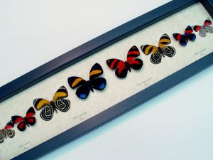 Real Framed Butterflies Callicore Collection