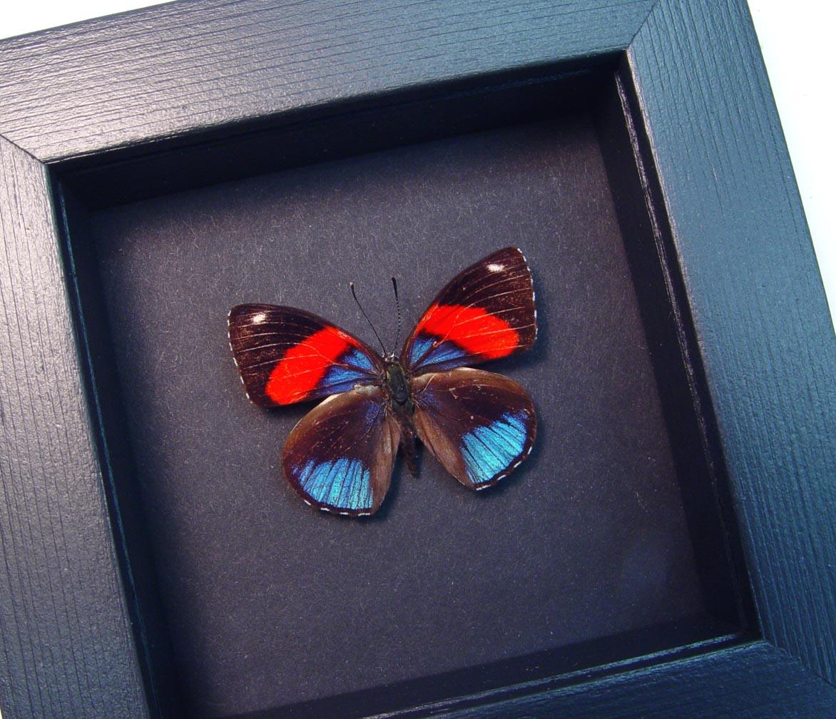 Callicore hystaspes Blue Red Butterfly Moonlight Display ooak