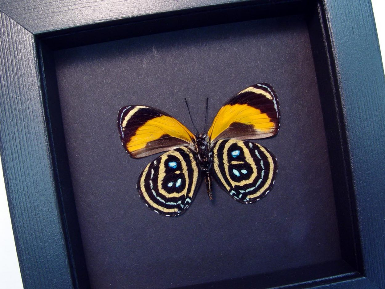 Callicore pastazza Verso Framed Butterfly Moonlight Display ooak