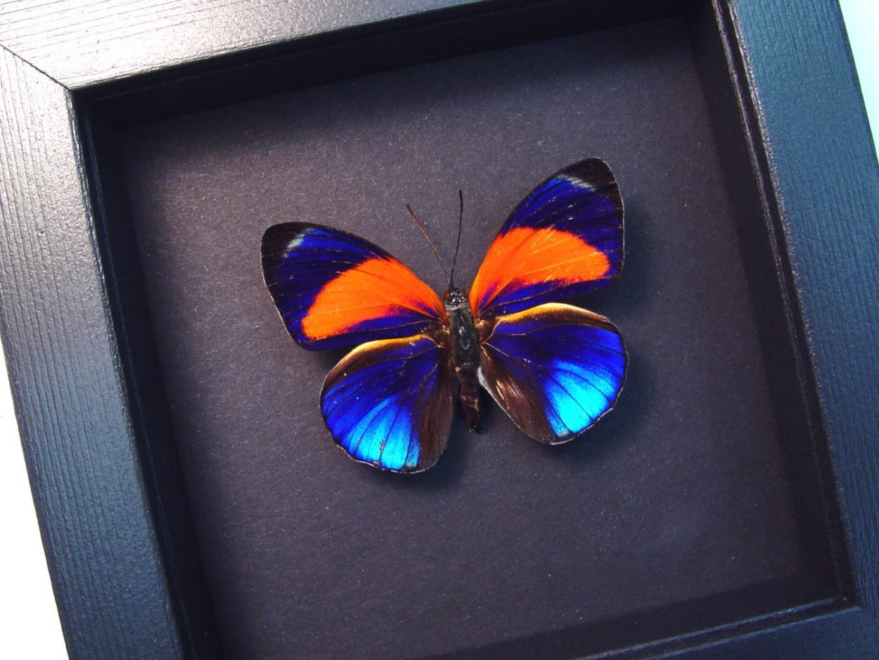 Asterope markii Orange Blue Butterfly Moonlight Display
