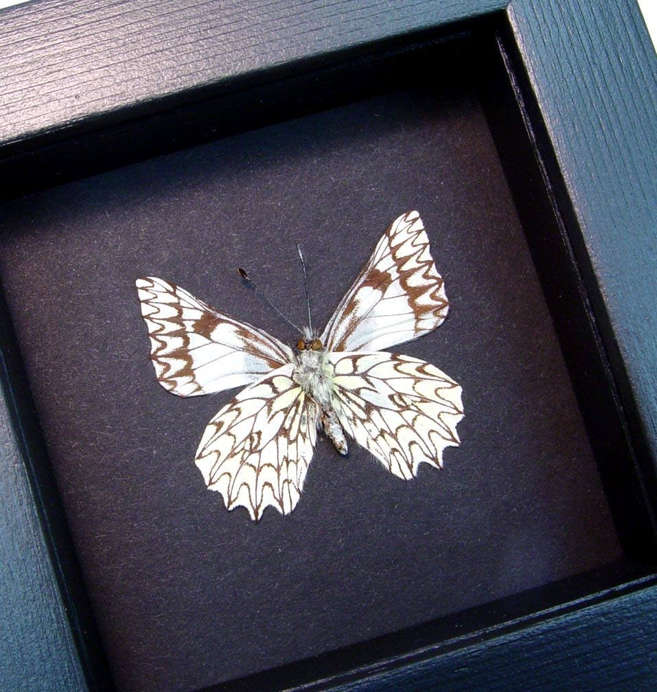 Catasticta poujadei clara Verso Dartwhite Butterfly Moonlight Display ooak