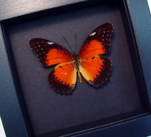 Cethosia biblis Red Lacewing Butterfly Moonlight Display ooak
