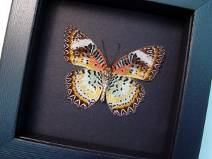 Cethosia cyane verso Leopard Lacewing Butterfly Moonlight Display ooak