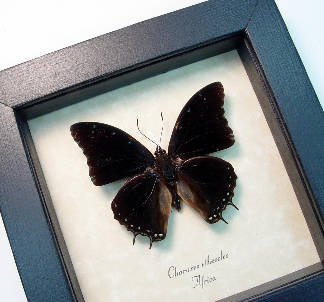 Black Demon Butterfly Charaxes etheocles ooak