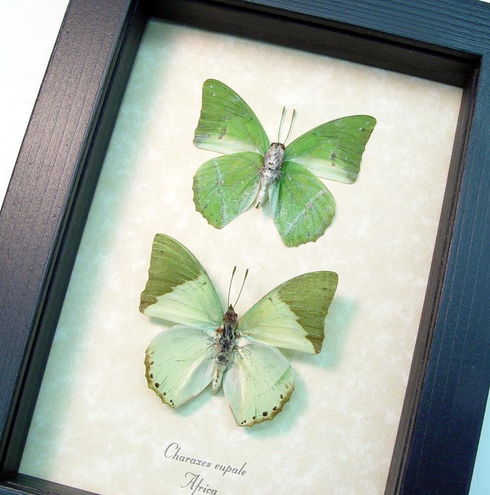 Green African Butterflies Framed Butterflies ooak