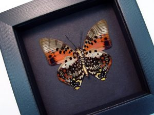 Charaxes zingha Verso Shining Red Charaxes Moonlight Display ooak