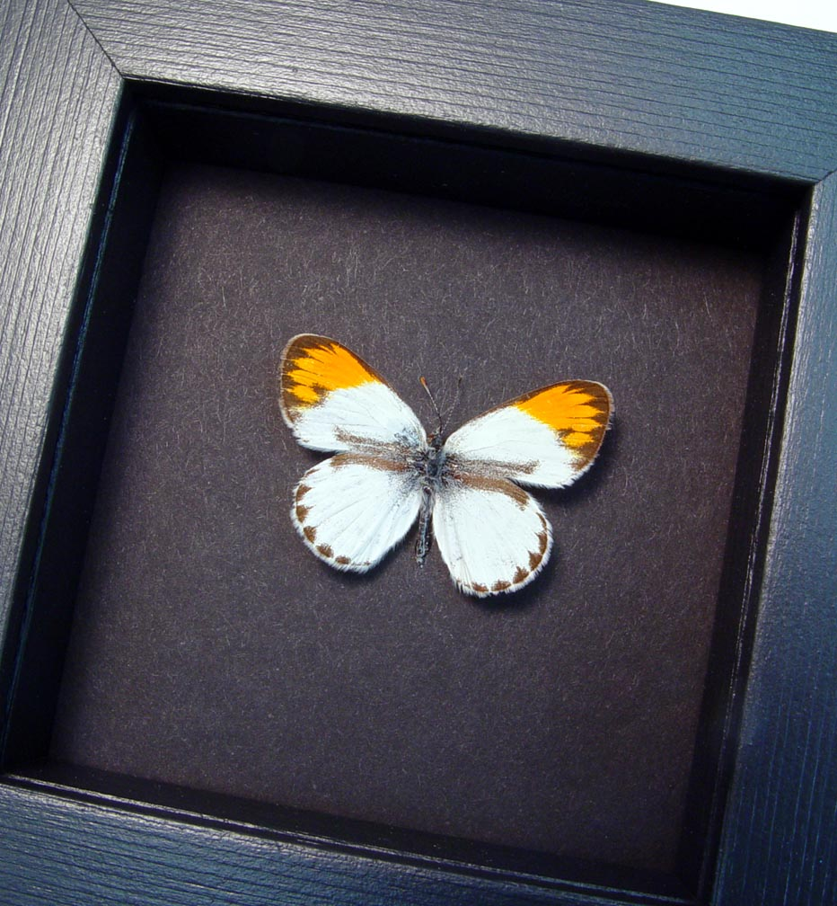 Colotis danae Orange Tip African Butterfly Moonlight Display ooak