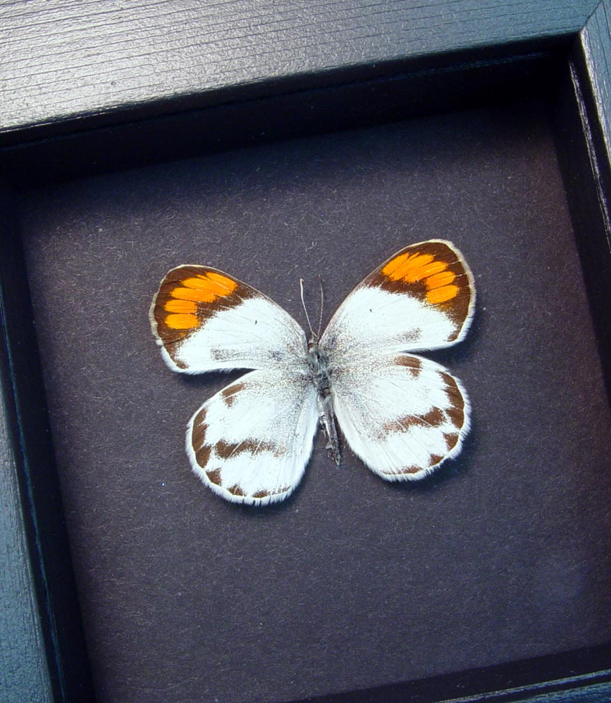 Colotis species Orange Tip African Butterfly Moonlight Display ooak