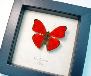 Framed Scalloped Red Glider Cymothoe excelsa Red Butterfly ooak