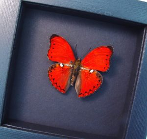 Framed Scalloped Red Glider Cymothoe excelsa Moonlight Display ooak