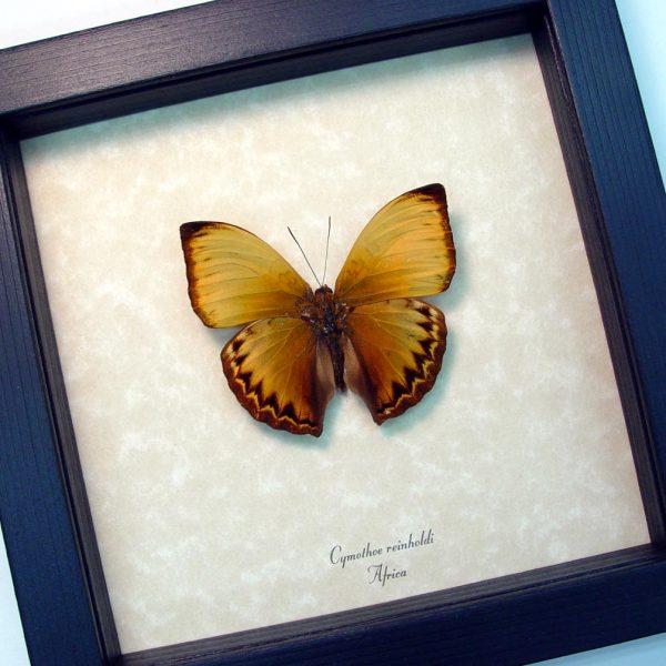 Cymothoe reinholdi Reinhold's Creamy Glider African Butterfly ooak