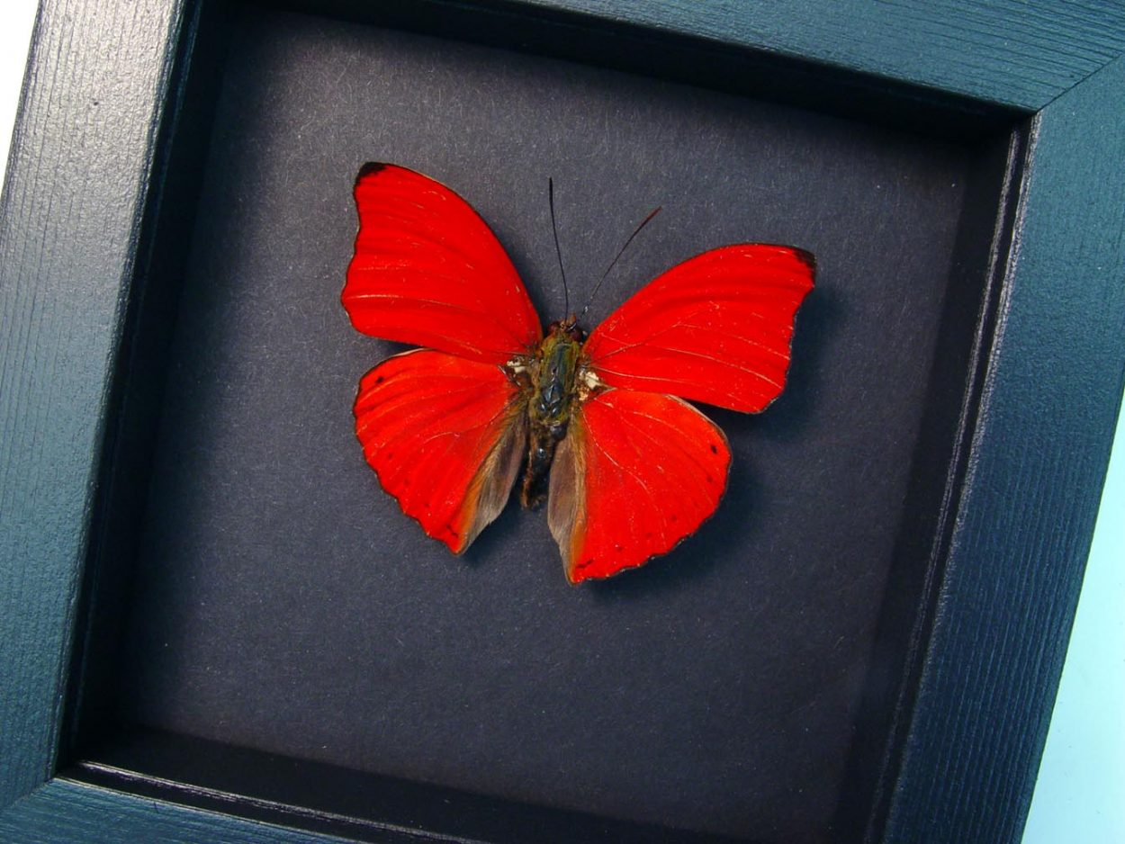Cymothoe sangaris Red Glider Red Heart Butterfly Moonlight Display