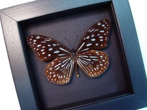 Tirumala hamata Blue Tiger Butterfly Moonlight Display ooak