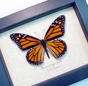 Danaus plexippus Female Framed Monarch Butterfly ooak