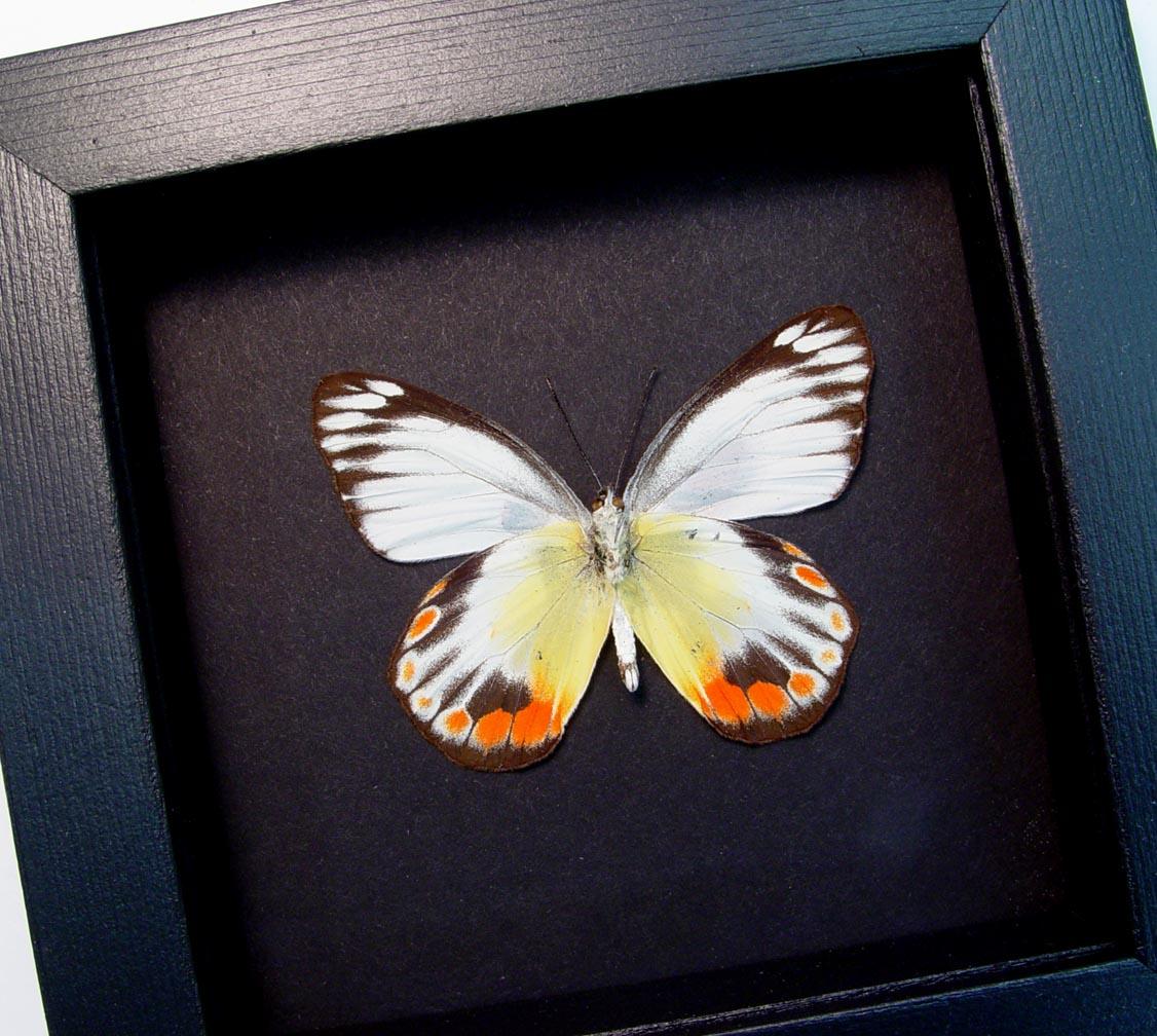 Delias periboea verso Colorful Yellow Orange Butterfly Moonlight Display ooak