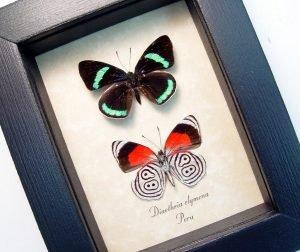 Framed 88 Butterflies Diaethria clymena Pair ooak