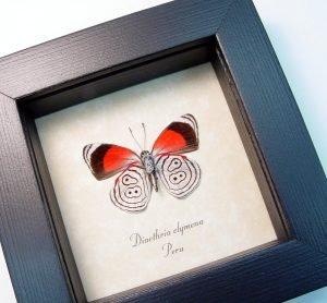 Framed 88 Butterfly Diaethria clymena ooak