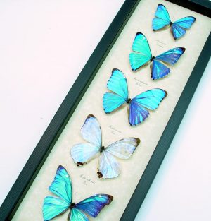 Framed Butterflies Diamond Morpho Butterfly Collection
