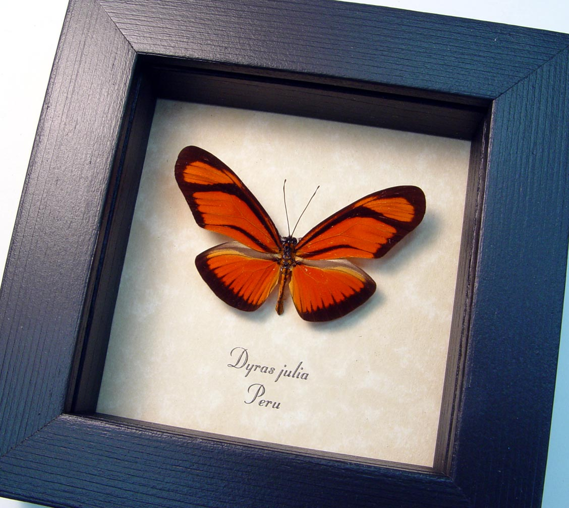 Framed Julia Butterfly Dryas julia