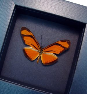 Framed Julia Butterfly Dryas julia Moonlight Display ooak