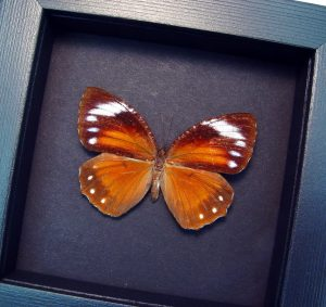 Elymnias hypermnestra Common Palmfly Butterfly Moonlight Display ooak