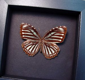 Elymnias nesaea Tiger Palmfly Butterfly Moonlight Display ooak