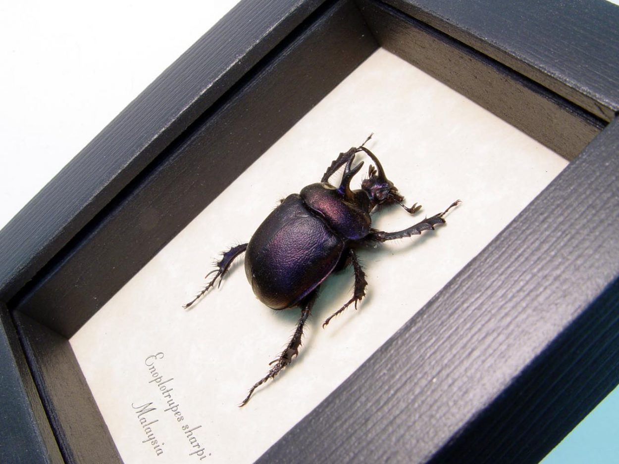 Purple Scarab Framed Beetle ooak