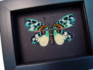 Erasmia pulchera Verso Day Flying Moth Moonlight Display ooak