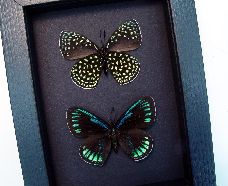 Eumaeus childrenae Set Green Blue Glittery Butterflies Moonlight Display ooak