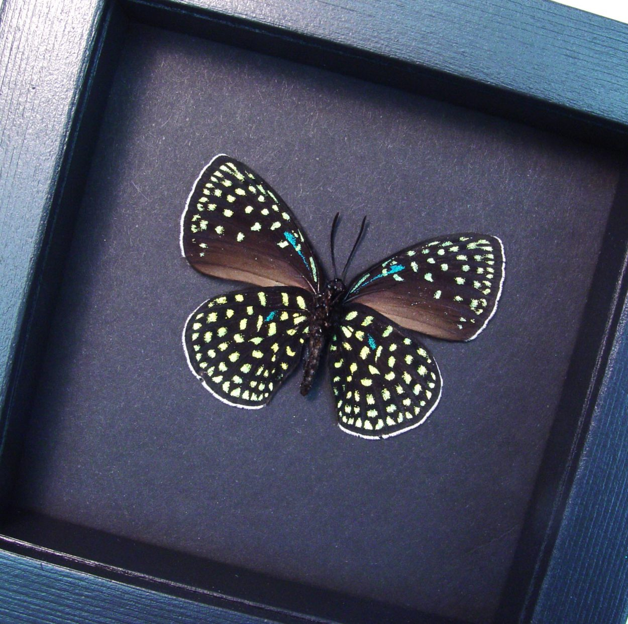 Eumaeus childrenae verso Blue Green Butterfly Moonlight Display