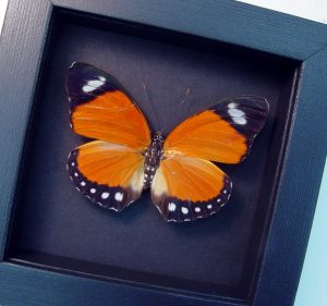 Euphaedra eleus Female Orange Forester Moonlight Display ooak