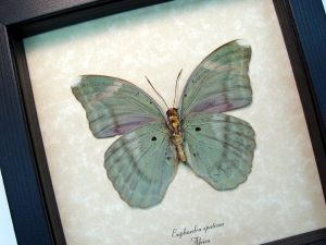Euphaedra spatiosa female Green Forester African Butterfly ooak
