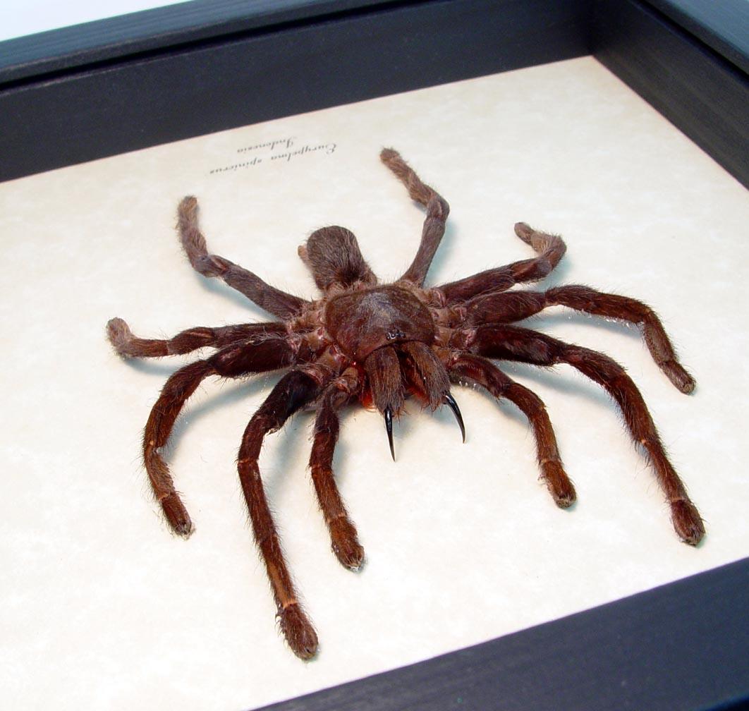 Framed Tarantula Eurypelma spinicrus lg Spider ooak