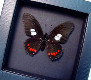 Eurytides harmodius Black Red Butterfly Moonlight Display ooak
