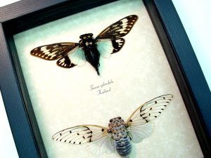 Cicada Collection Ghost Cicadas ooak
