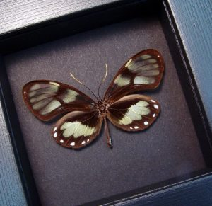Godyris zavaleta Female Glasswing Butterfly Moonlight Display ooak