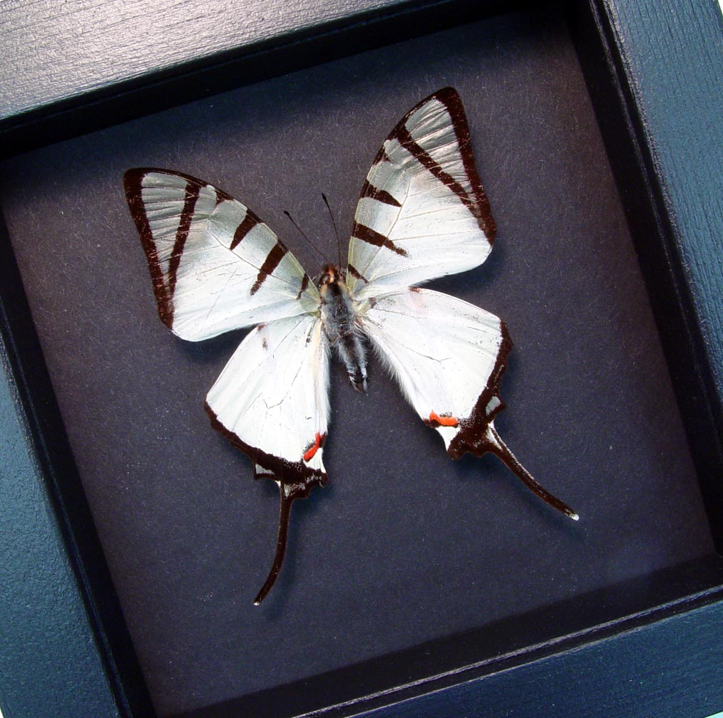 Graphium agetes White Swallowtail Butterfly Moonlight Display