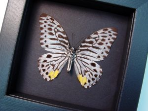 Graphium delessertii verso Malayan Zebra Moonlight Display ooak