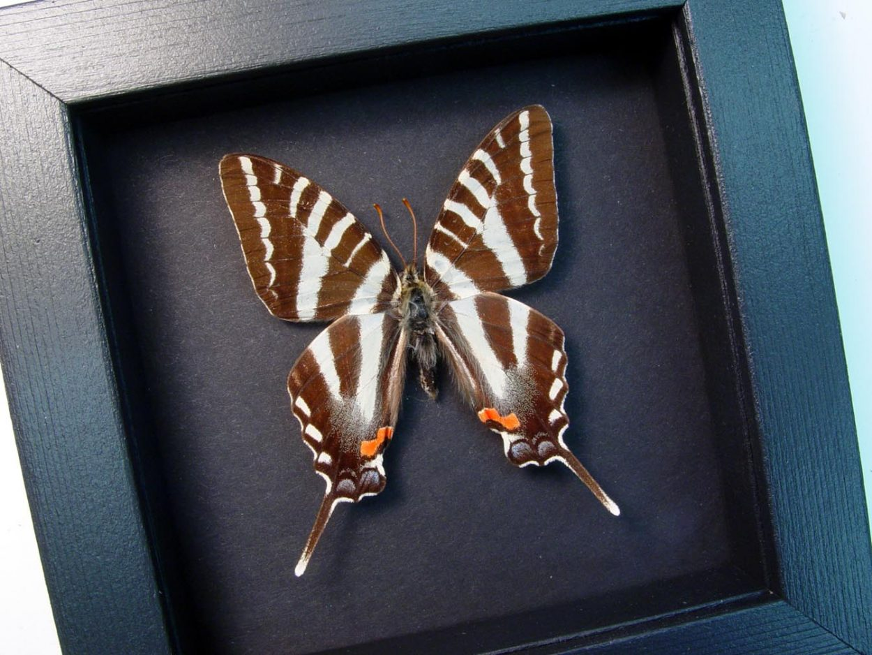 Graphium Marcellus Zebra Swallowtail Butterfly Moonlight Display ooak