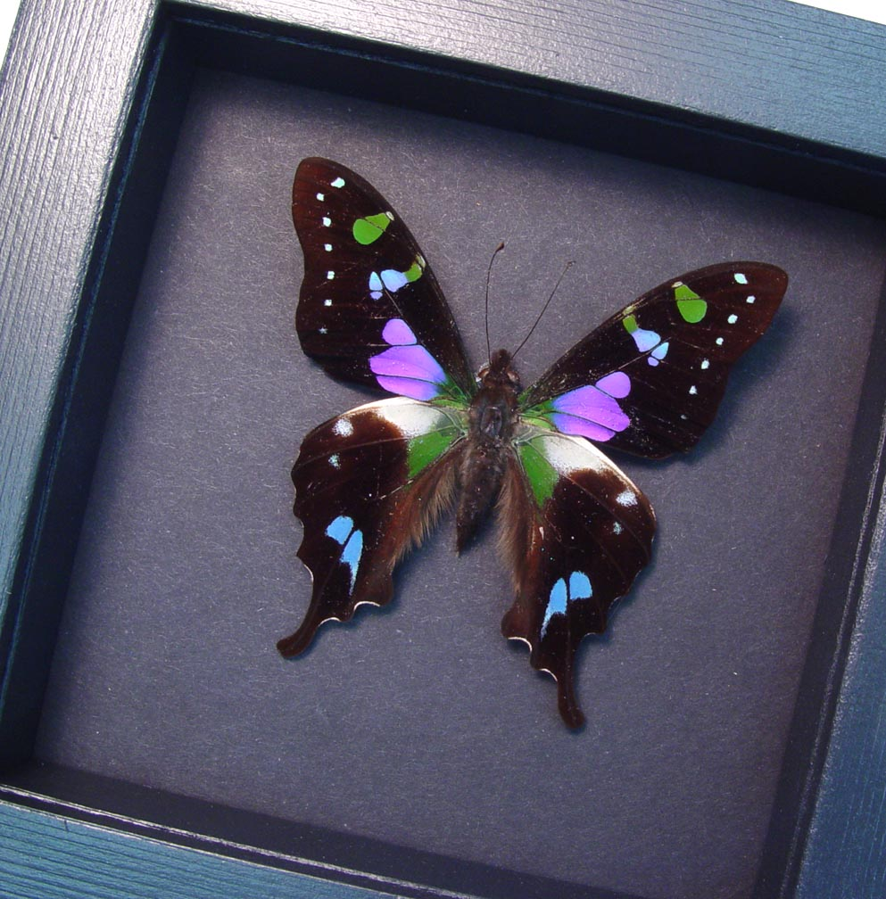 Framed Graphium Weiskei Purple Spotted Swallowtail Moonlight Display