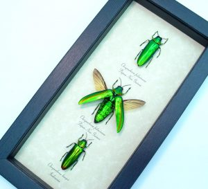 Jewel Beetle Collection Framed Insects