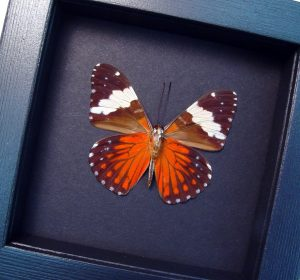 Hamadryas amphinome Verso Red Cracker Butterfly Moonlight Display ooak